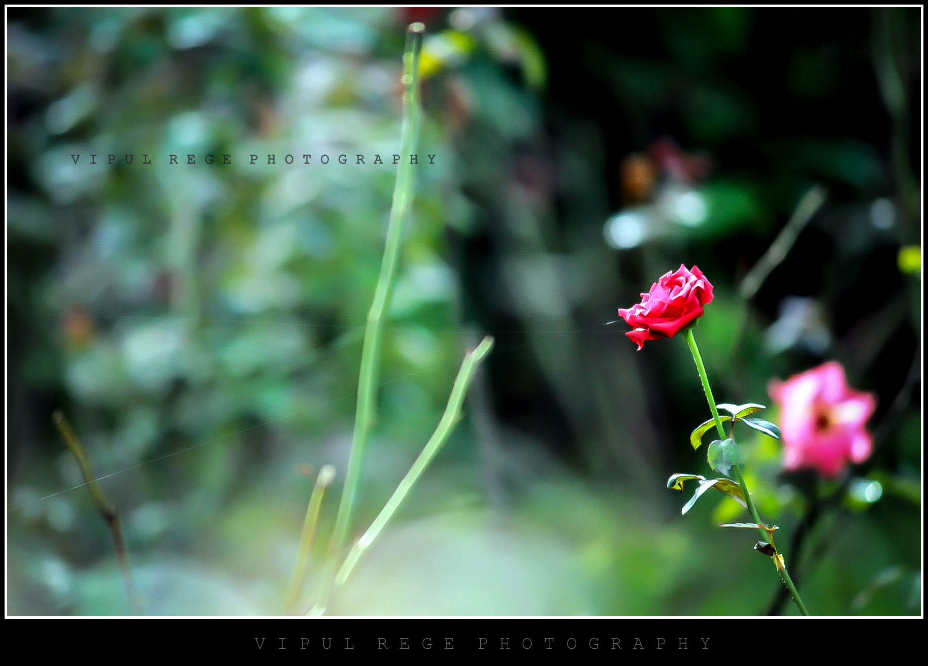 Photograph Rose by Vipul Rege on 500px
