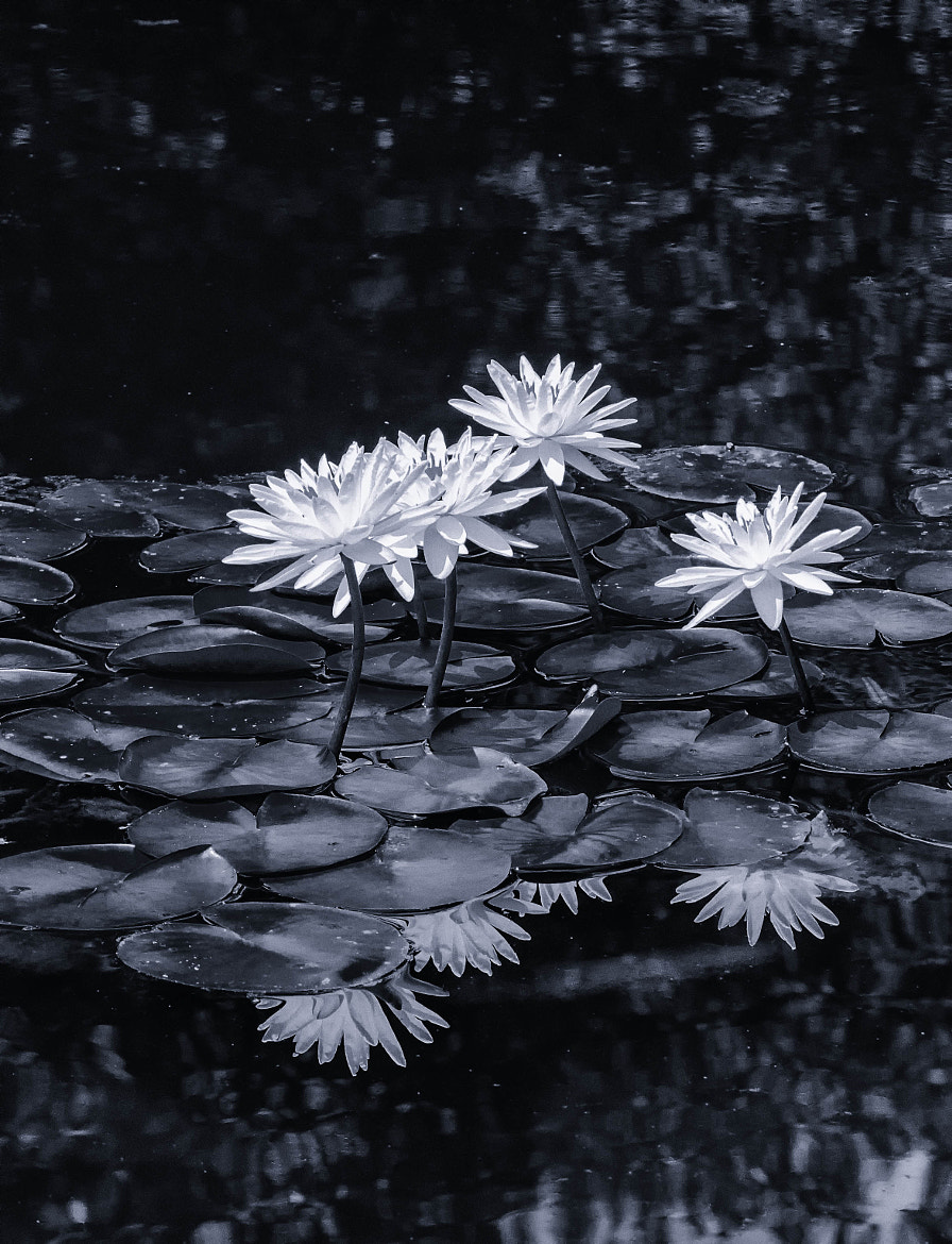Photograph Water Lilies by Ronald Roberts on 500px