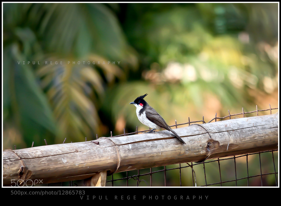 Photograph Bulbul by Vipul Rege on 500px