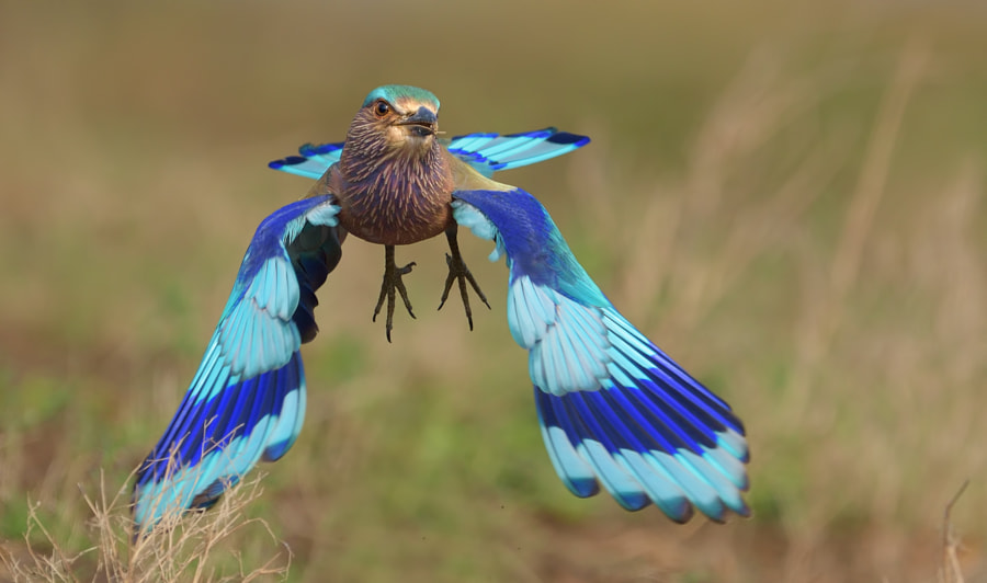 Indian roller by Raj Dhage on 500px.com