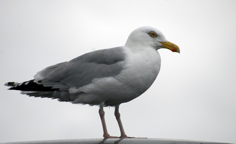 Photograph Seagull on a carroof by Eric Faber on 500px