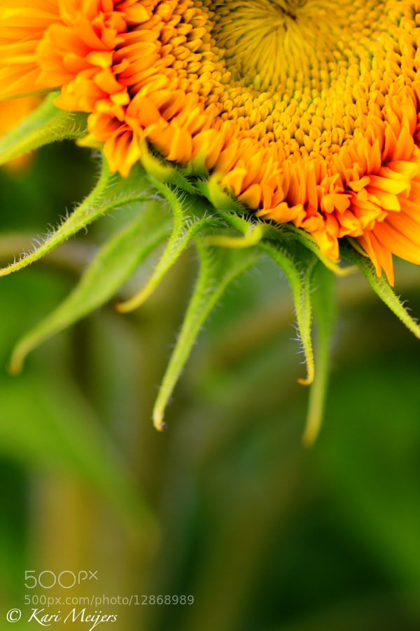 Photograph Sunflower ~ by Kari  Meijers on 500px
