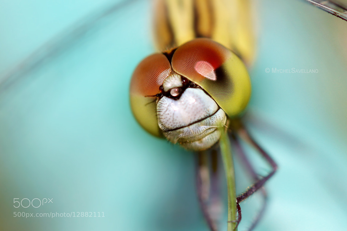 Photograph Dragonfly II by Michael Savellano on 500px
