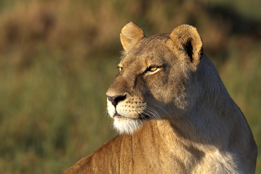 Photograph Lioness by Thomas Retterath on 500px