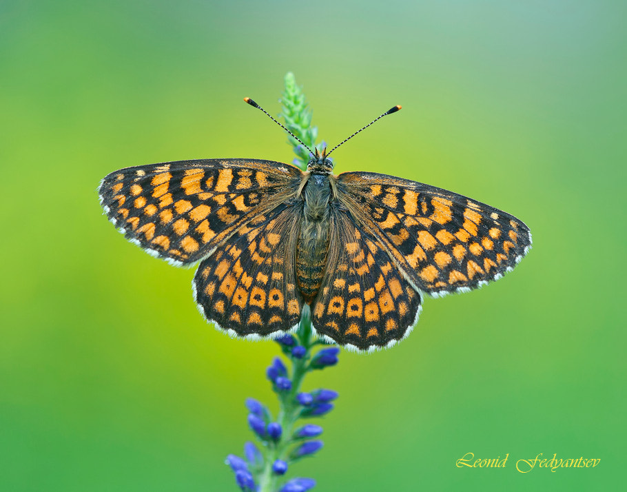 Photograph The Glanville Fritillary by Leonid Fedyantsev on 500px