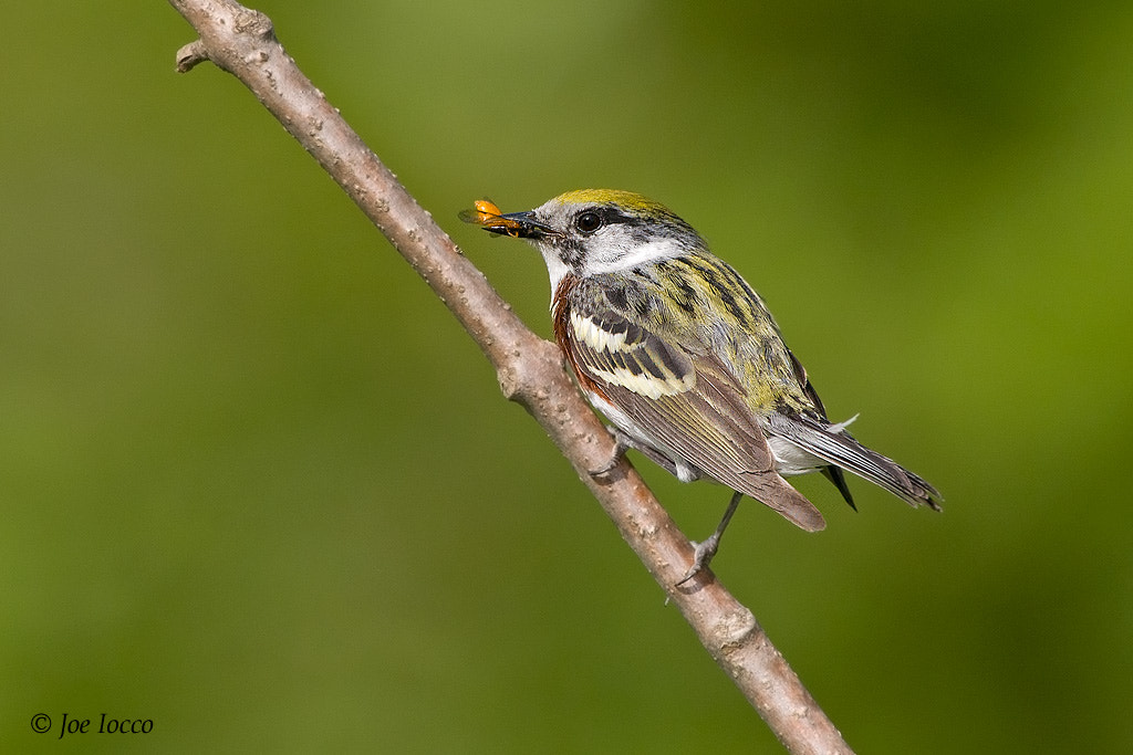 Photograph Chestnut-sided warbler by Joe Iocco on 500px