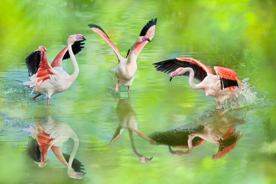 ~ Greater Flamingo ~, автор — FuYi Chen на 500px.com
