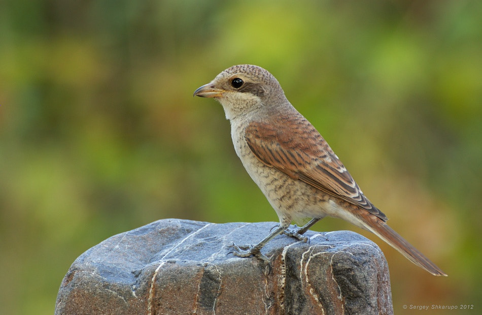 Photograph Red-backed Shrike by Sergey Shkarupo on 500px