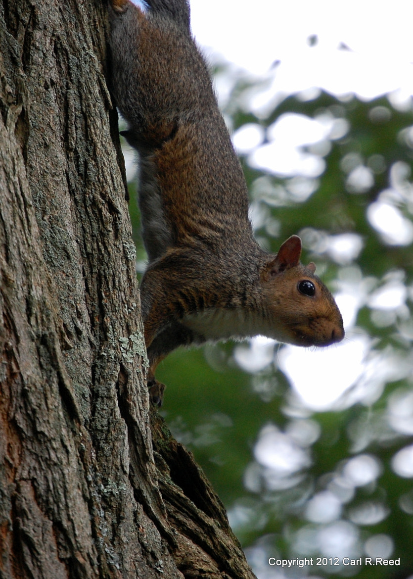 Photograph squirrel 1648 by Carl Reed on 500px