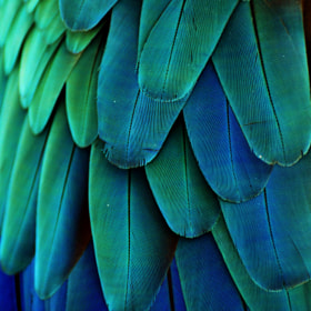 Macaw Feathers by Michael Fitzsimmons (MFitz)) on 500px.com