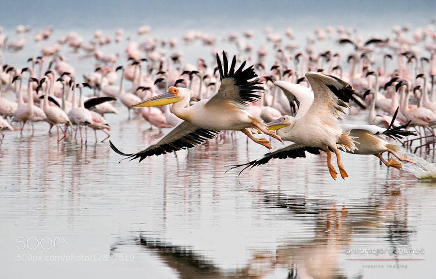 Photograph Pelicans by António Jorge Nunes on 500px