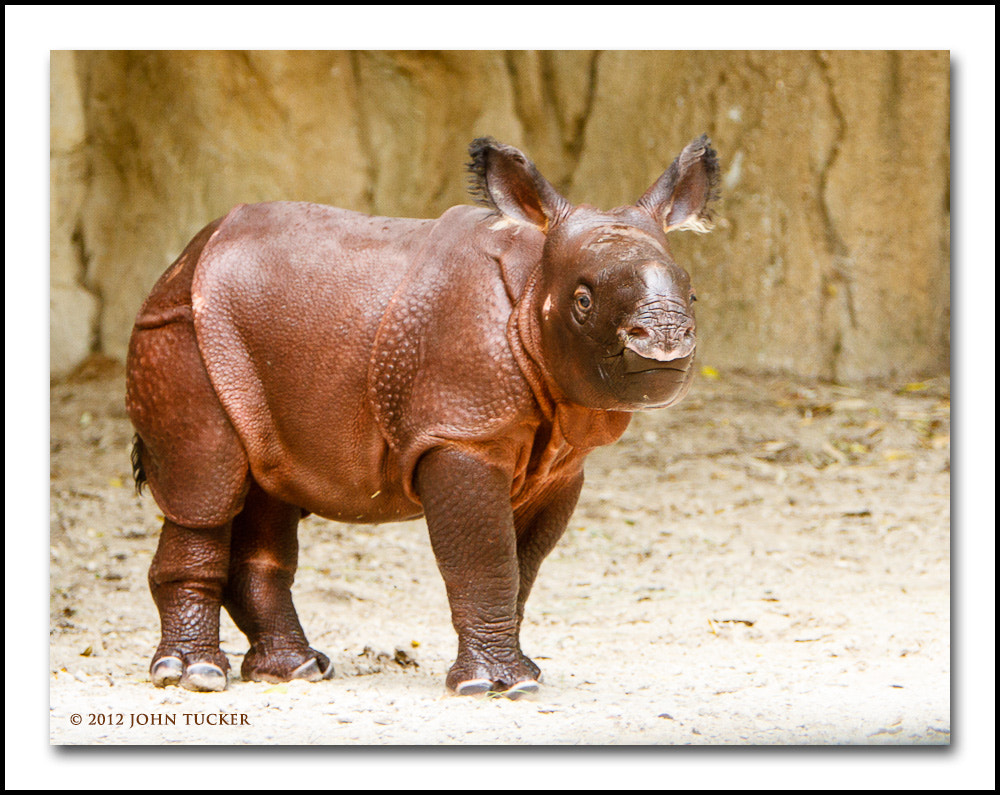 Photograph Greater One-horned Rhino (Calf) by John Tucker on 500px