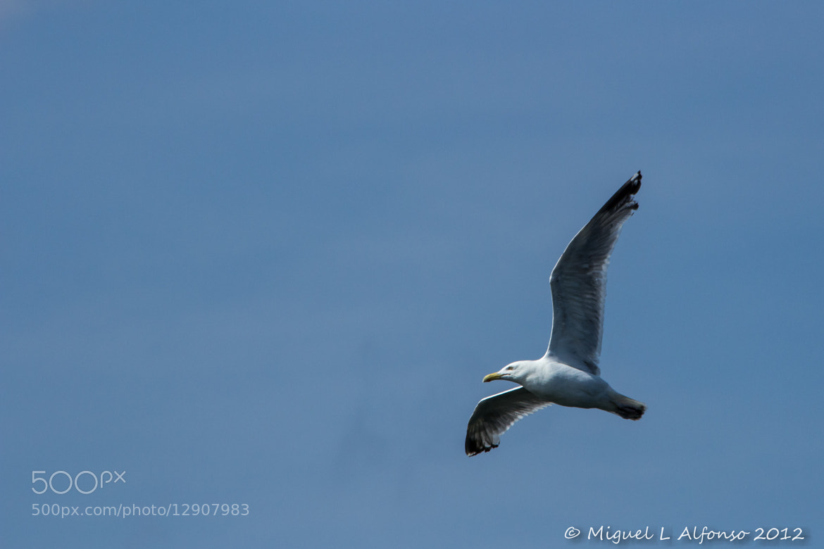 Photograph Gull Flying by Miguel Alfonso on 500px