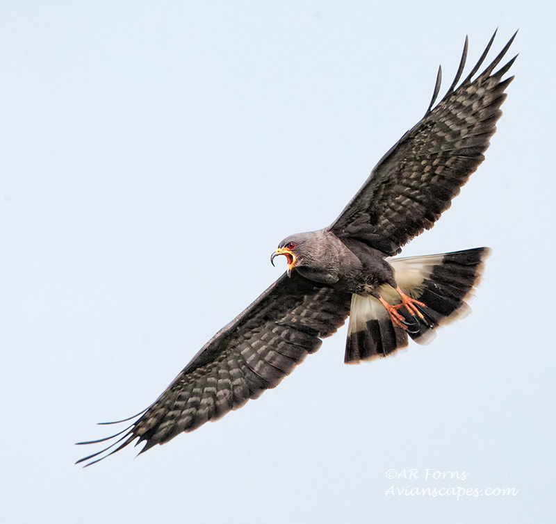 Photograph Snail Kite by Alfred Forns on 500px