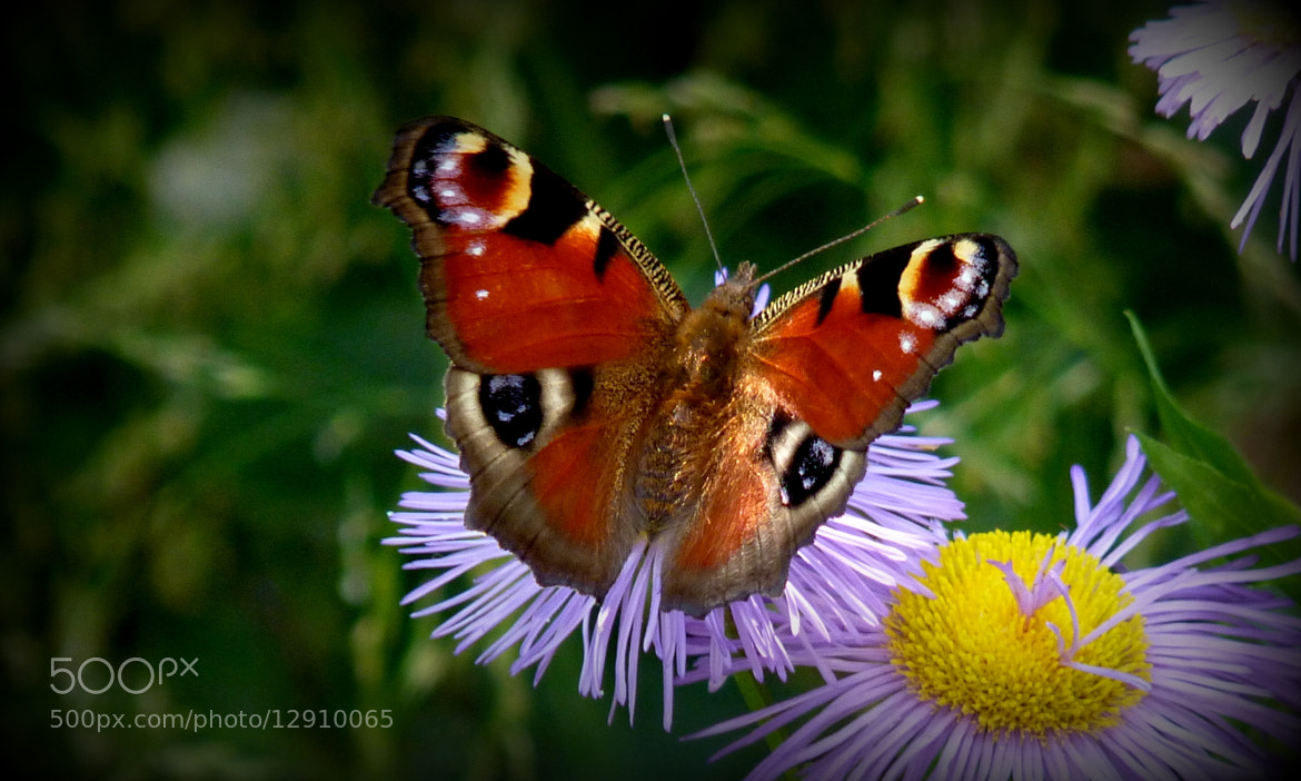 Photograph The Art of Nature | Butterfly | Vanessa Io by MAURIZIO PONTINI on 500px