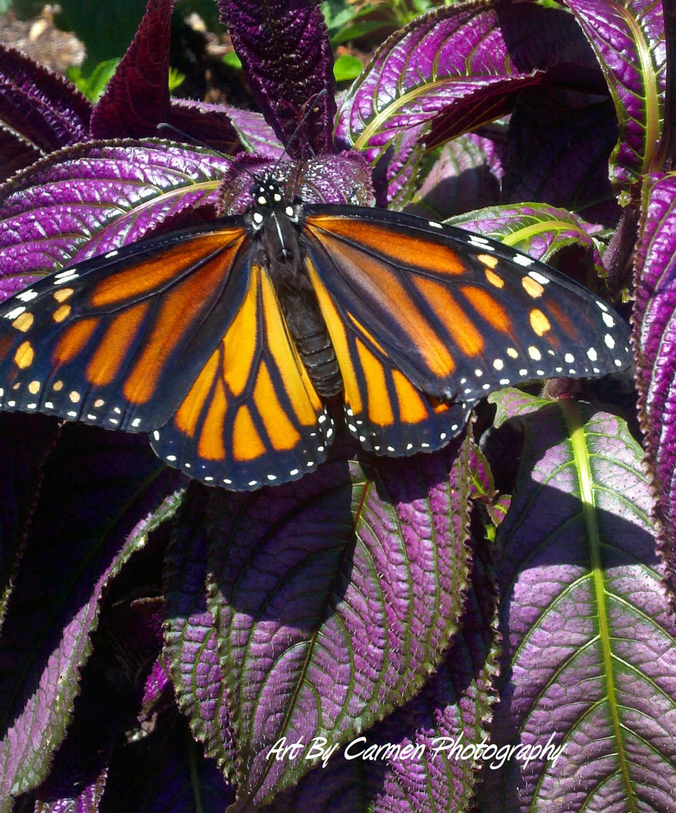 Photograph Monarch by Ocean Viking on 500px