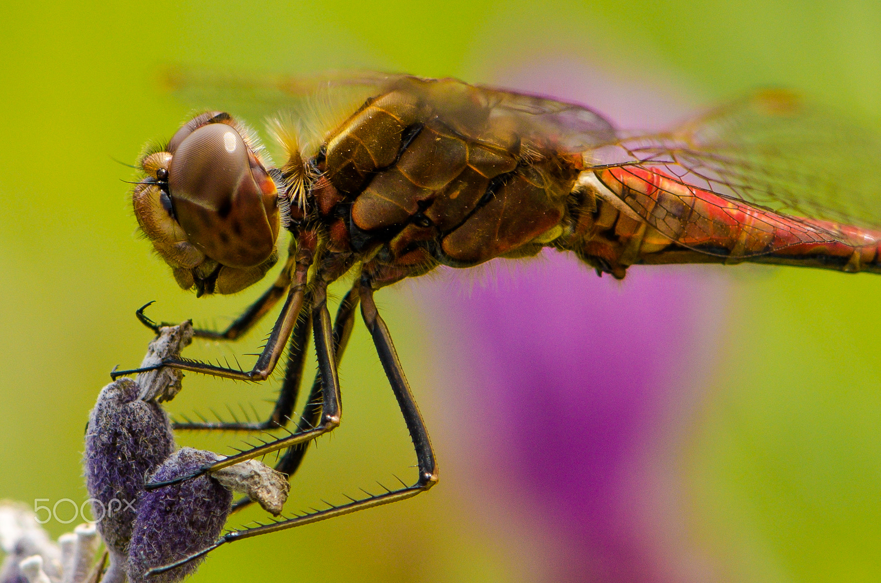 Photograph dragonfly by Markus  on 500px