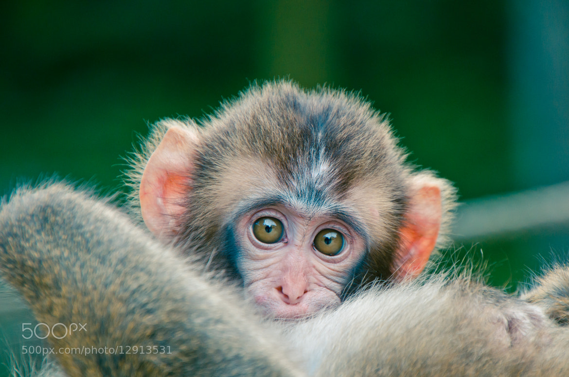 Photograph BABY MONKEY by Anish Adhikari on 500px