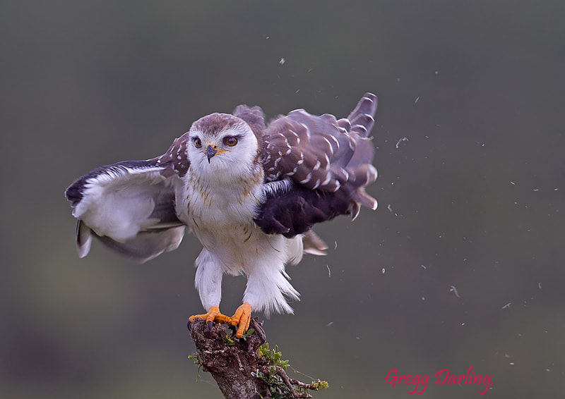 Photograph Young Black-shouldered Kite. by Gregg Darling on 500px