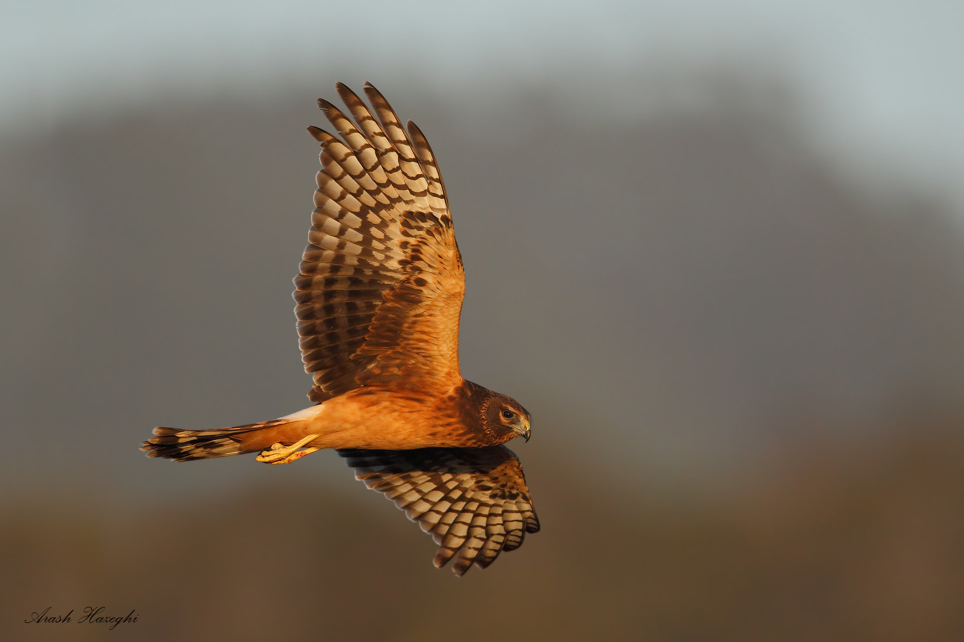 Photograph Northern Harrier by Ari Hazeghi on 500px