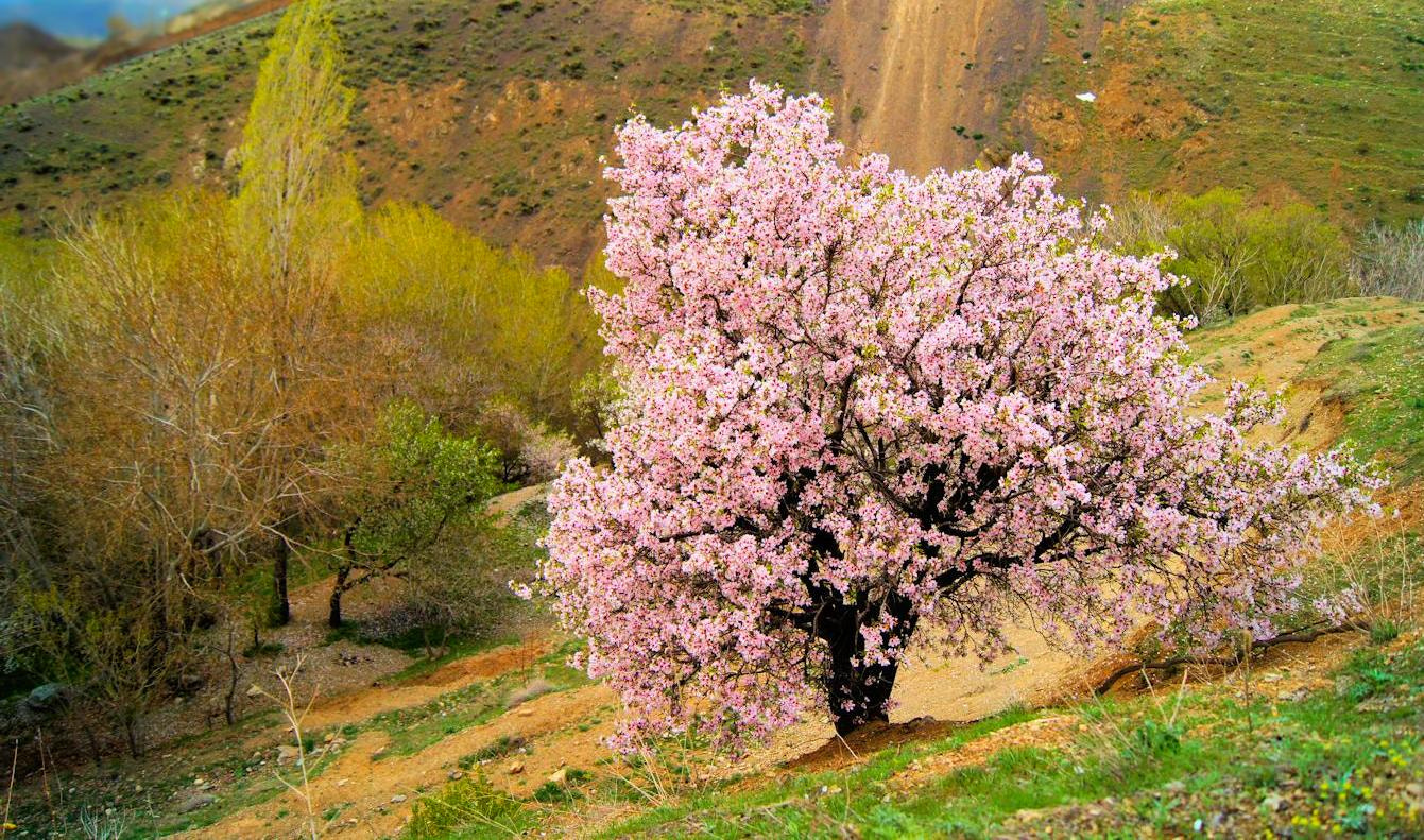 Photograph Almond blossoms by sero  on 500px