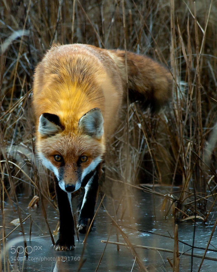 This male Red Fox was in pursuit of his mate during the cold Delaware winter.  Crossing over the frozen lake bed and darting in and out of the reeds, this fox would finally meet his mate later in the day.