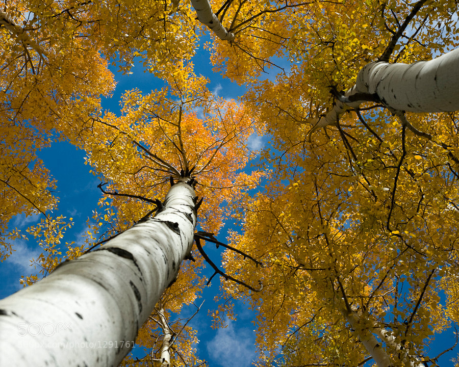 Looking straight up through the Colorado Aspens just outside Ouray.