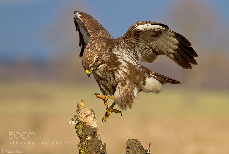 Photograph Buzzard by Vlado Pirša on 500px