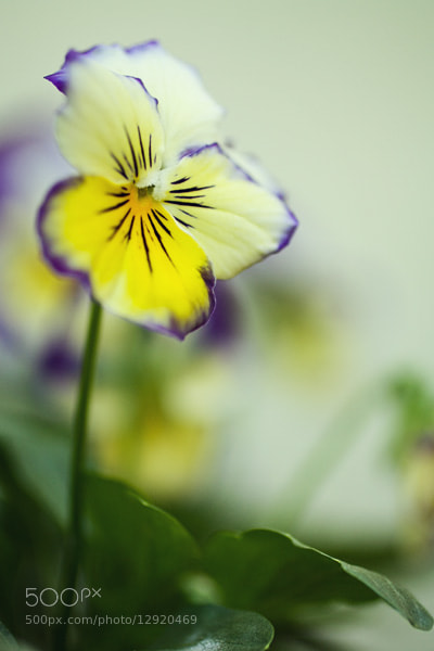 Photograph Mini Pansy by Julia S on 500px