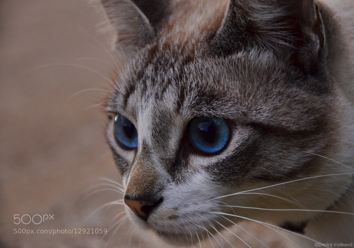 Photograph Cat by Dmitry Voitkevich on 500px