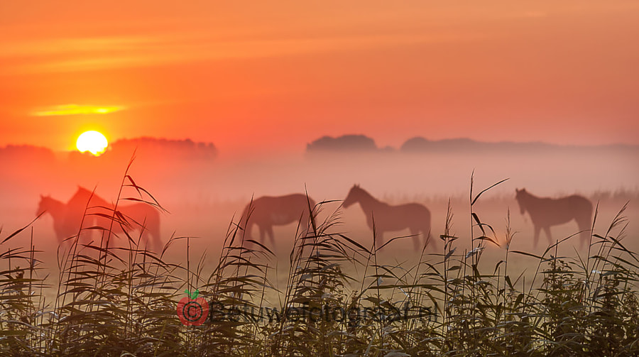 Horses in the Morninglight by Marinus Keyzer de on 500px.com