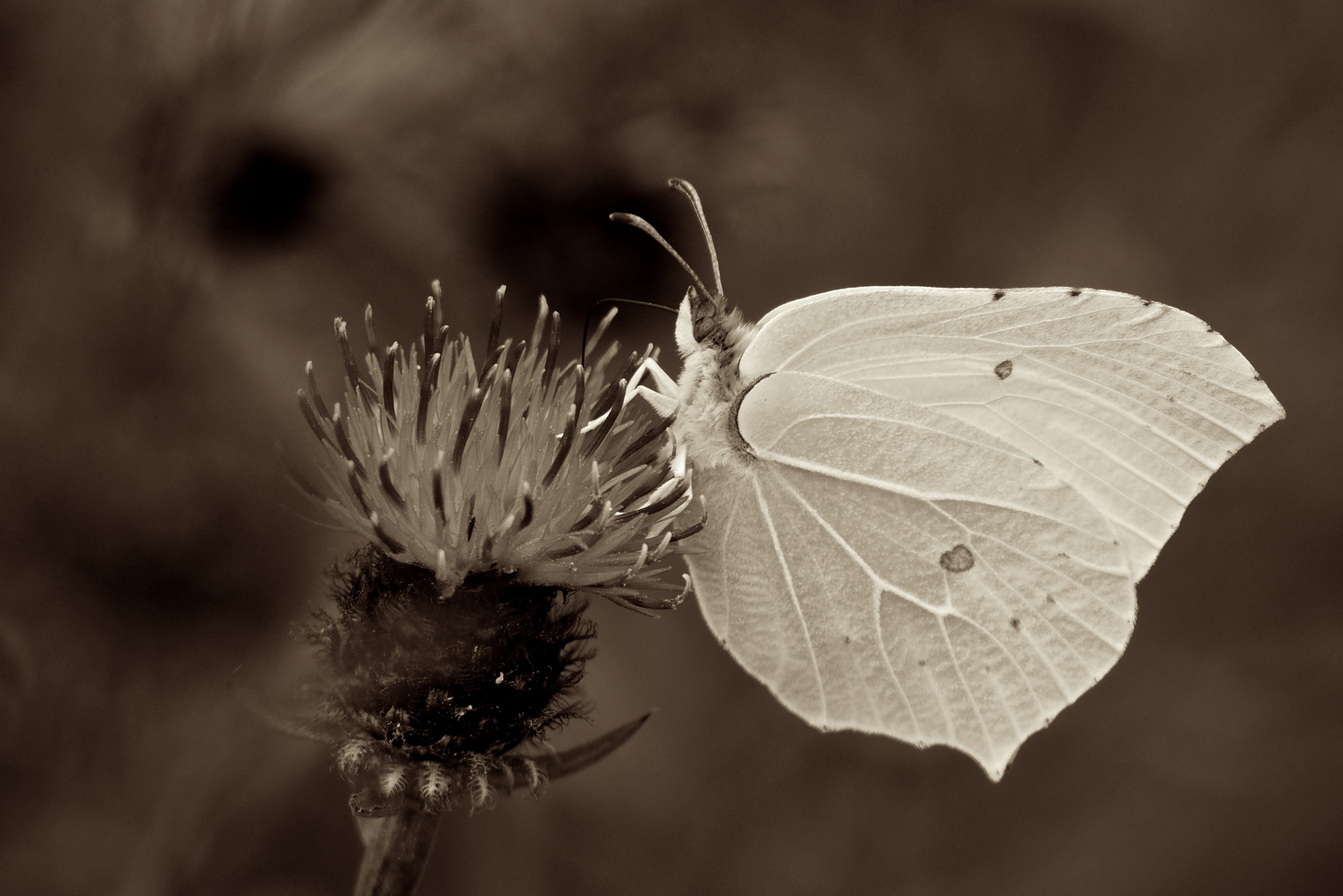 Photograph Brimstone by John Purchase on 500px