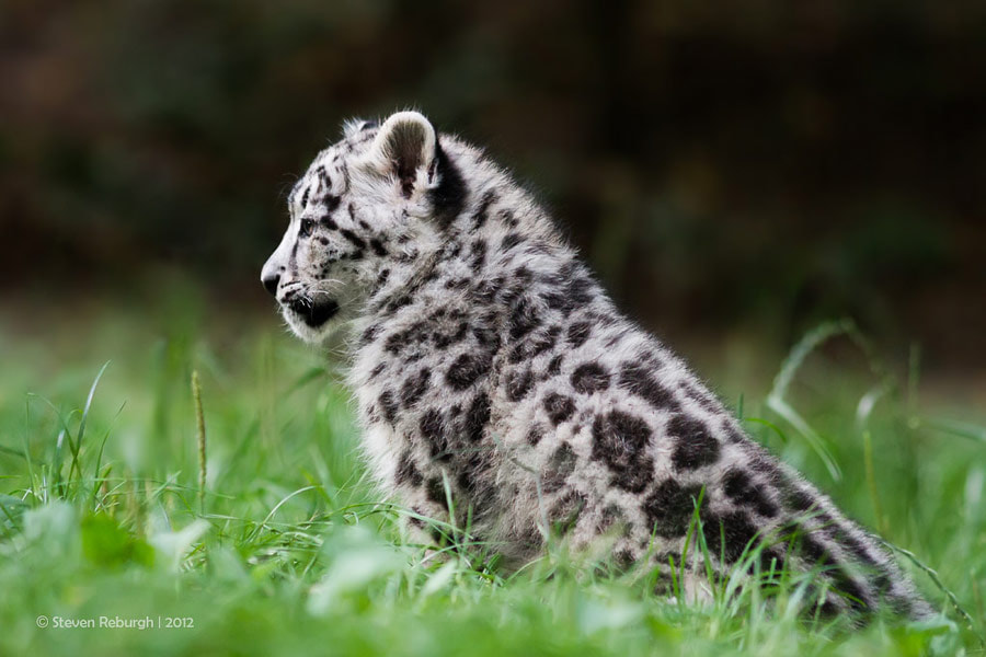 Photograph Snow Leopard Cub I by Steven Reburgh on 500px