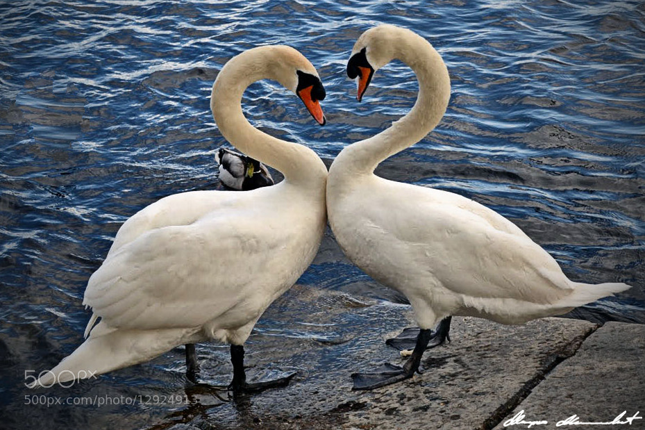 Photograph Mute Swans in Love by Marko Milenković on 500px