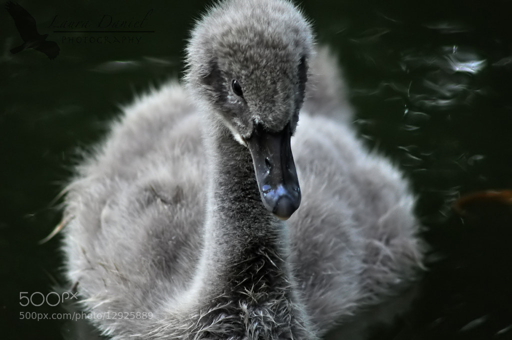 Photograph Cygnet by Laura Daniel on 500px