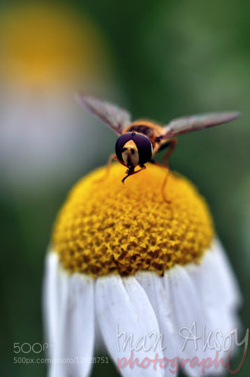 Photograph Bee by Inan Aksoy on 500px