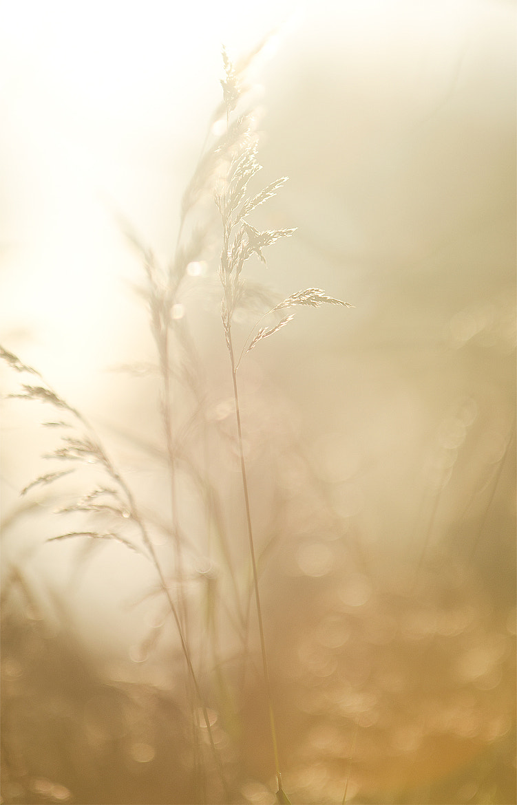 Photograph Golden grass by Andreas Skoog on 500px