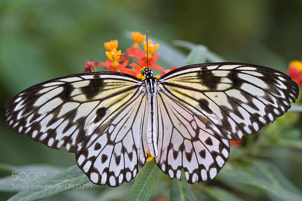 Photograph Tree Nymph Butterfly by Jacky Parker on 500px