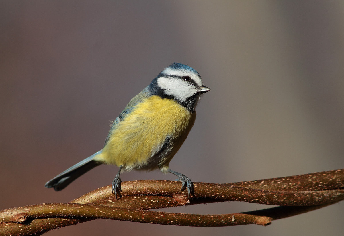Photograph Blue Tit by Ivan Martini on 500px