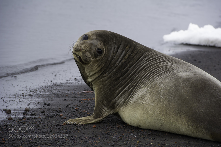 Photograph Weddell seal by Michael Leggero on 500px
