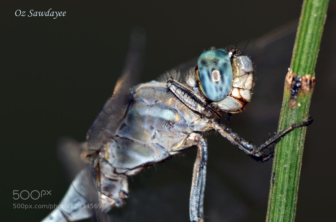 Photograph Dragonfly by Oz Sawdayee on 500px