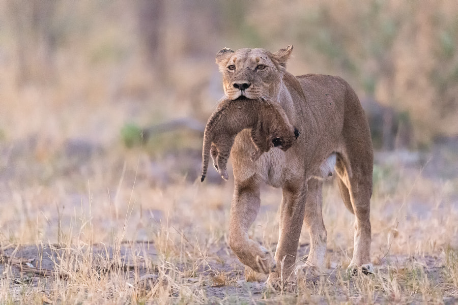 Lioness A mothers sorrow