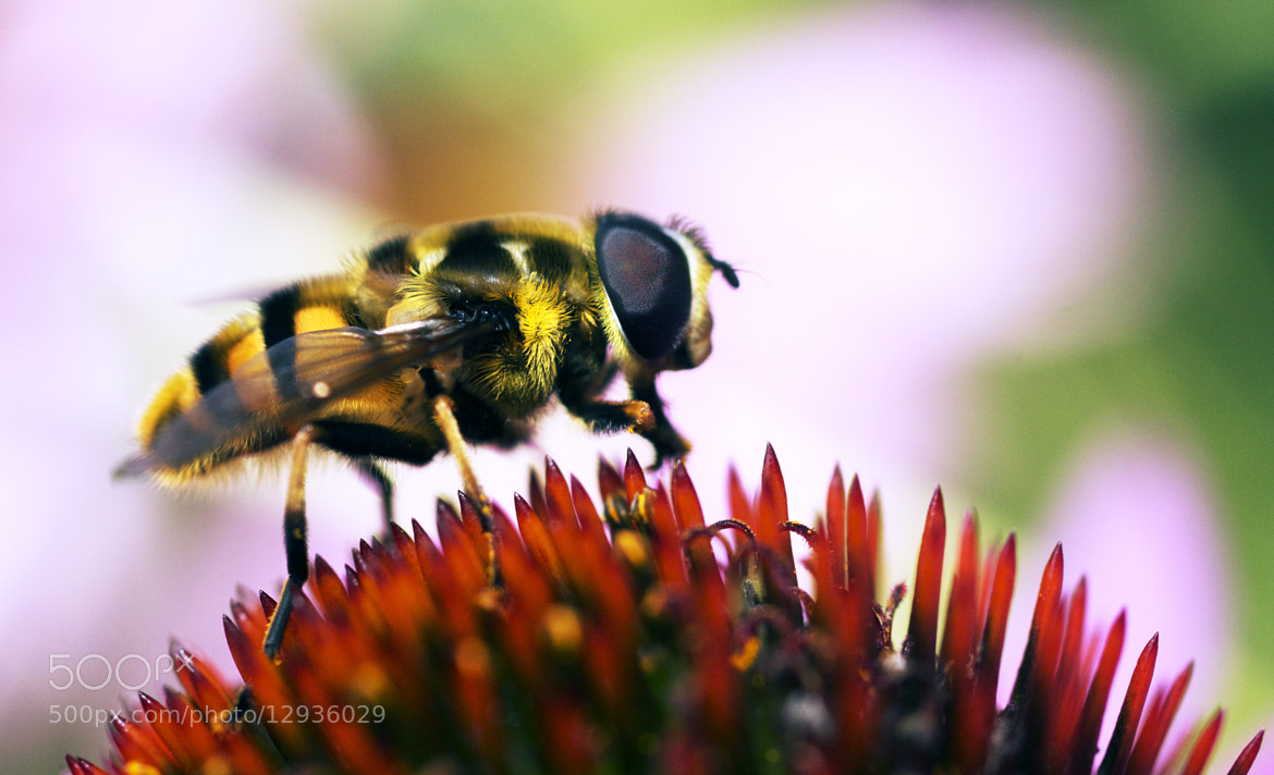 Photograph Fly or Bee? by elton hickman on 500px