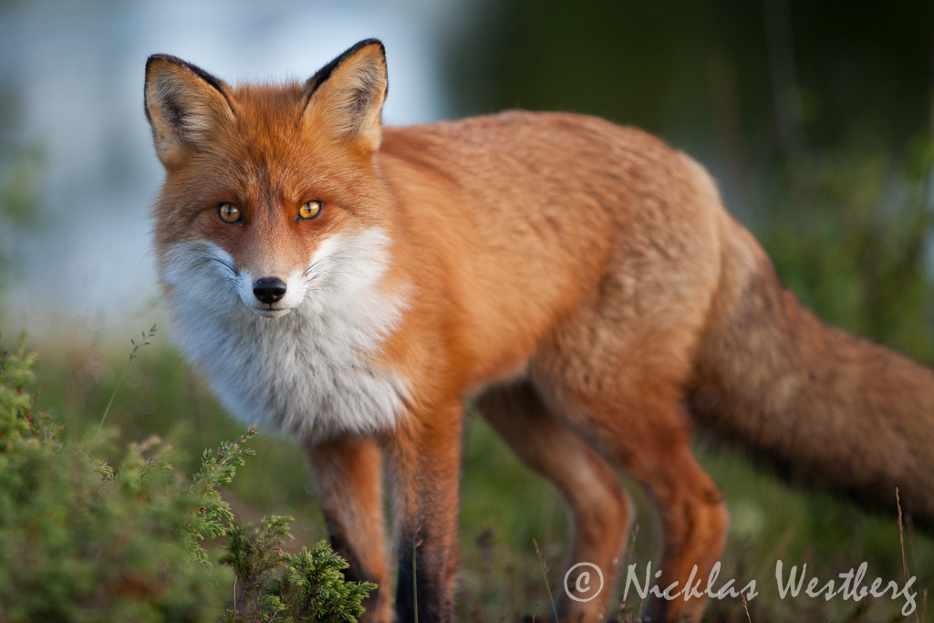 Photograph Artic Fox by Nicklas Westberg on 500px