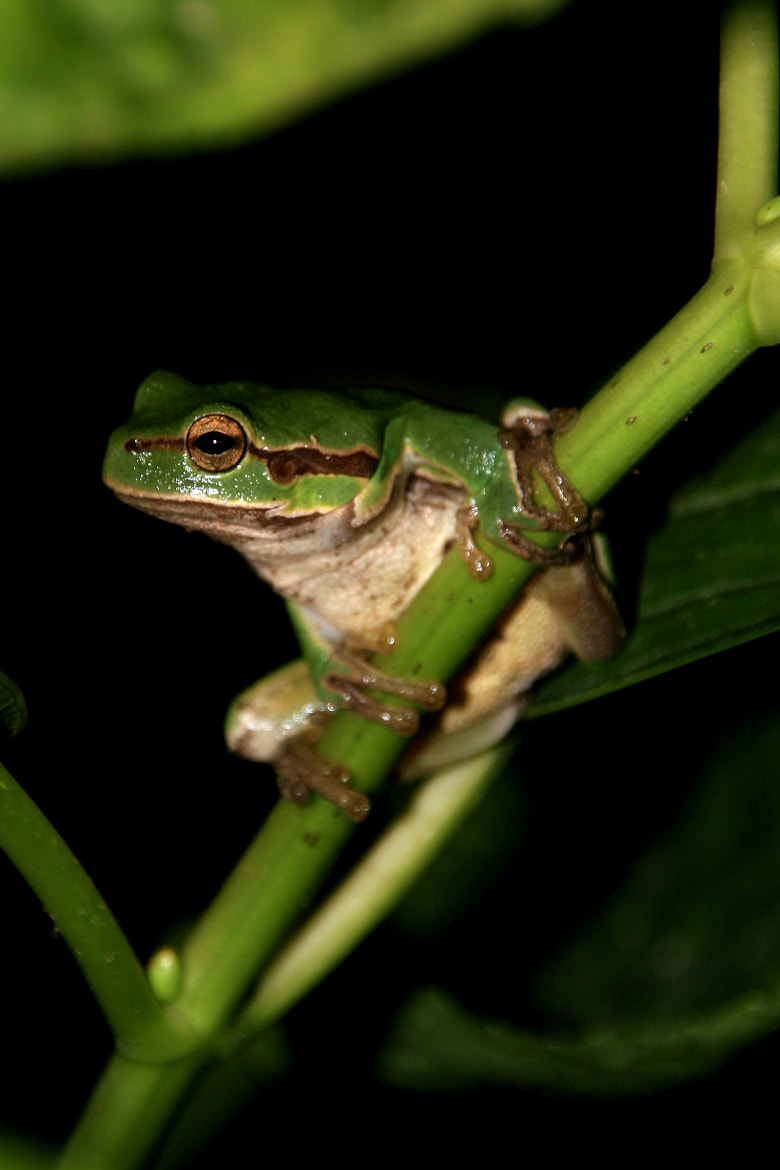 Photograph green tree frog 1 by Yannis Tsalafoutas on 500px