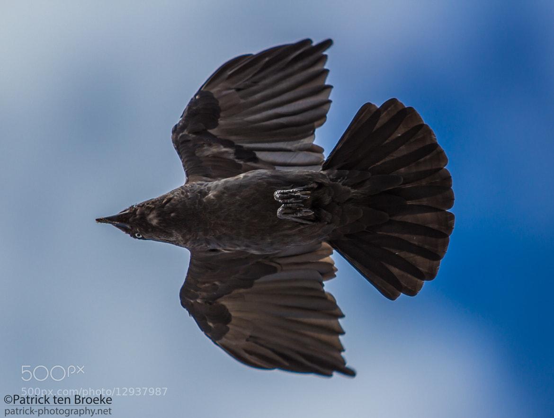 Photograph Crow Underside by Patrick ten Broeke on 500px