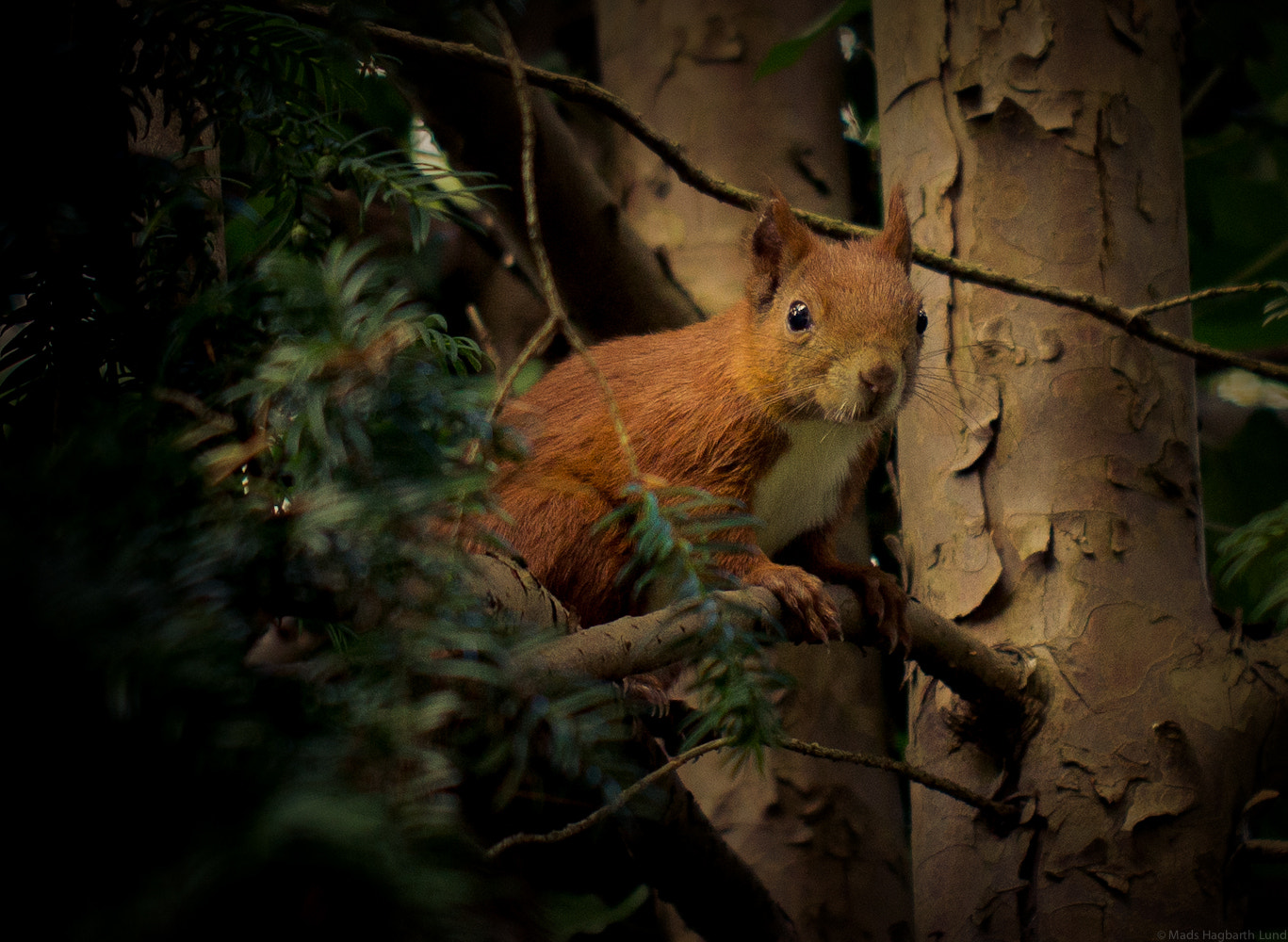Photograph Squirrel by Mads Hagbarth Lund on 500px