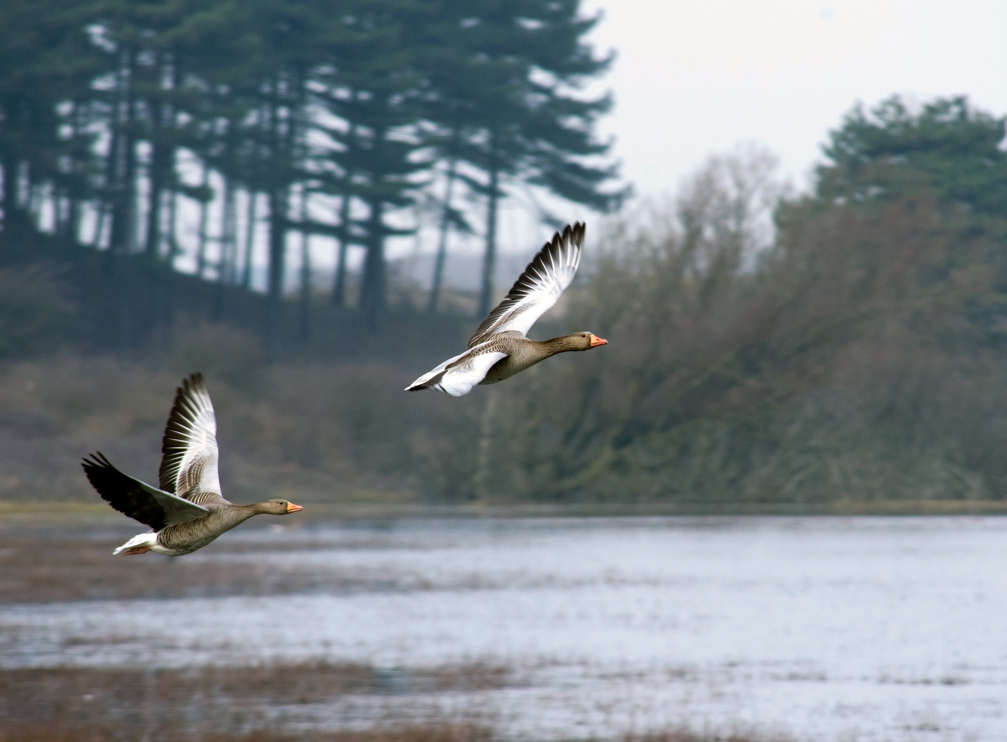 Photograph Geese flying south by Eric Faber on 500px