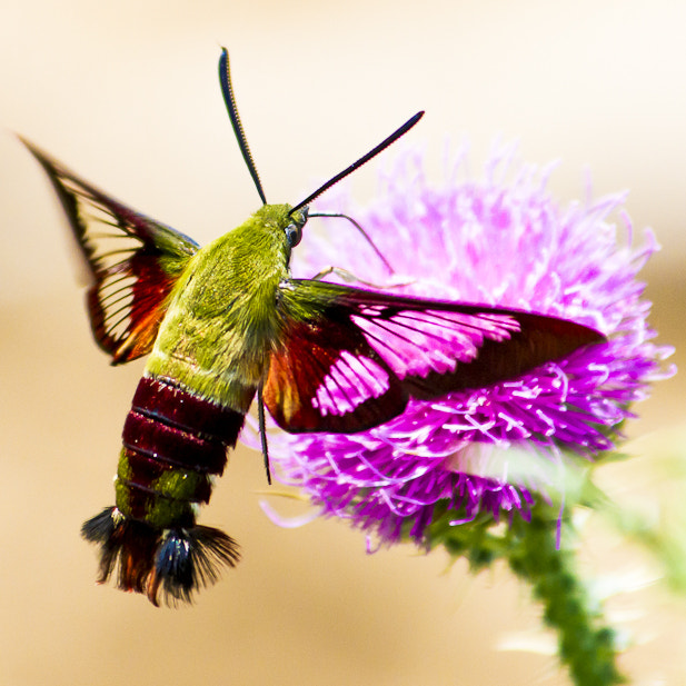 Photograph Hummingbird Moth by Mike Lashuay on 500px