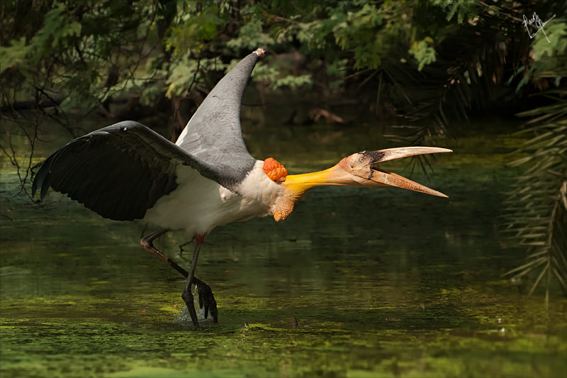 Photograph Greater Adjutant Stork by Parth Jha on 500px